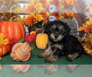 YorkiePoo Puppy for sale in CASSVILLE, MO, USA