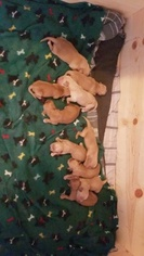 Golden Retriever Puppy For Sale in HIGH RIDGE, MO, USA
