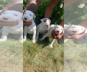 Bull Terrier Puppy for Sale in CAMBRIA HEIGHTS, New York USA