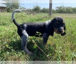 Small #2 Bluetick Coonhound