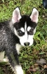 Siberian Husky Puppy For Sale in BEAN BLOSSOM, IN, USA