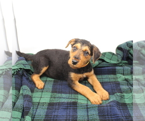 Airedale Terrier Puppy for Sale in VERONA, Missouri USA
