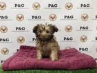 Poodle (Toy)-Yorkshire Terrier Mix Puppy For Sale in TEMPLE CITY, CA, USA