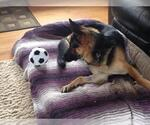 Small #1458 German Shepherd Dog