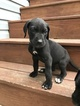 Great Dane Puppy For Sale in SHAMOKIN, PA,