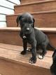 Great Dane Puppy For Sale in SHAMOKIN, PA, USA