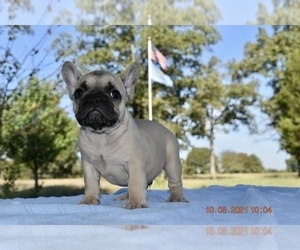 French Bulldog Puppy for sale in COLEMAN, OK, USA