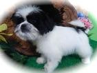 Shih Tzu Puppy For Sale in HAMMOND, IN,