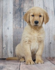 Golden Retriever Puppy For Sale in WARSAW, IN, USA