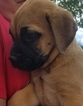 Bullmastiff Puppy For Sale in SIERRA VISTA, AZ, USA