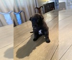 Small #15 Dutch Shepherd Dog