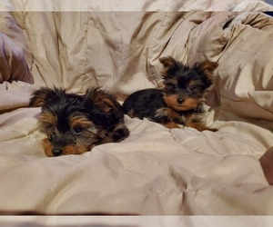 Yorkshire Terrier Puppy for sale in WINDHAM, NH, USA