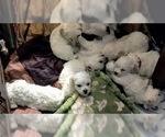 Small Photo #2 Bichon Frise Puppy For Sale in CHICAGO, IL, USA