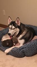 Siberian Husky Puppy For Sale in BUFFALO, NY