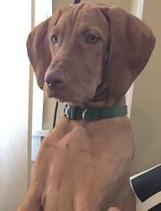 Vizsla Puppy For Sale in BRANCHVILLE, NJ, USA