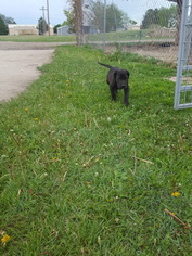 Great Dane Puppy For Sale in ARRIBA, CO