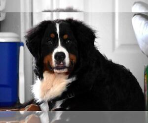 Bernese Mountain Dog Puppy for sale in ELLISVILLE, MO, USA