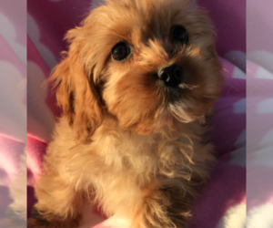 Cavapoo Puppy for sale in LOS ANGELES, CA, USA