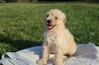 Goldendoodle-Poodle (Miniature) Mix Puppy For Sale near 42141, Glasgow, KY, USA