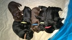 Labrador Retriever Puppy For Sale in MYRTLE BEACH, SC