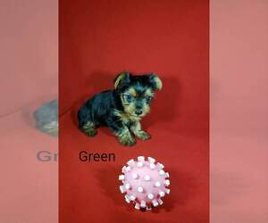 Yorkshire Terrier Puppies for Sale near Douglas, Georgia, USA, Page