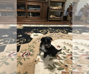 Chihuahua Puppy for Sale in FAYETTEVILLE, North Carolina USA