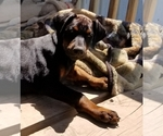 Small #31 Doberman Pinscher
