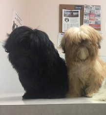 Mother of the Shih Tzu puppies born on 02/24/2018