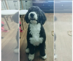 Bernedoodle Puppy for sale in MC ALPIN, FL, USA