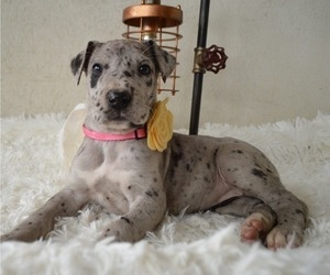 Great Dane Puppies For Sale Near Clifton New Jersey Usa Page 1
