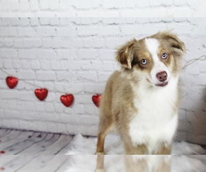 Miniature Australian Shepherd Puppy for Sale in CAULFIELD, Missouri USA