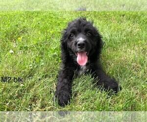Cockapoo Puppy for sale in CLARE, IL, USA