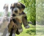 Small #11 Australian Shepherd-German Shepherd Dog Mix