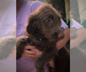 Labradoodle Puppy for Sale in TALKING ROCK, Georgia USA