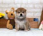 Small Photo #1 Shiba Inu Puppy For Sale in LOS ANGELES, CA, USA