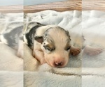 Small Photo #5 Australian Shepherd Puppy For Sale in LODA, IL, USA