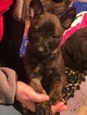 Belgian Malinois-Dutch Shepherd Dog Mix Puppy For Sale in COSHOCTON, OH