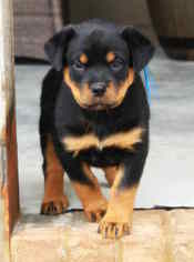 Rottweiler Puppy For Sale in FAIR PLAY, SC