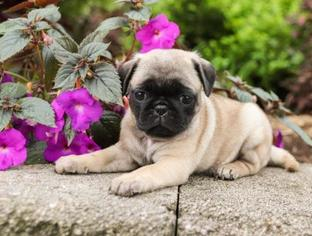 Pug Puppy for sale in MARINETTE, WI, USA