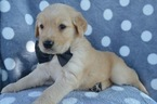 Golden Retriever Puppy For Sale in HONEY BROOK, PA, USA