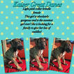 Great Dane Puppy For Sale in NEENAH, WI,
