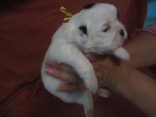 Shih Tzu Puppy For Sale in MURPHY, NC