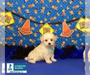 Maltipoo-Unknown Mix Puppy for sale in WINNSBORO, LA, USA