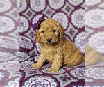 Small #1 Goldendoodle-Poodle (Miniature) Mix