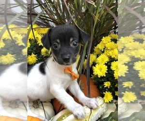 Jack Russell Terrier Puppy for sale in BALTIMORE, MD, USA
