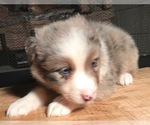 Small #13 Australian Shepherd