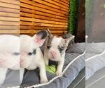 Small #10 English Bulldog