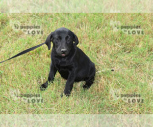 Labrador Retriever Dog for Adoption in SANGER, Texas USA