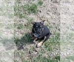 Puppy 5 Texas Heeler
