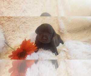 Labrador Retriever Puppy for sale in LIVE OAK, FL, USA